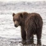 Baby Bear Cub in Standing in Water
